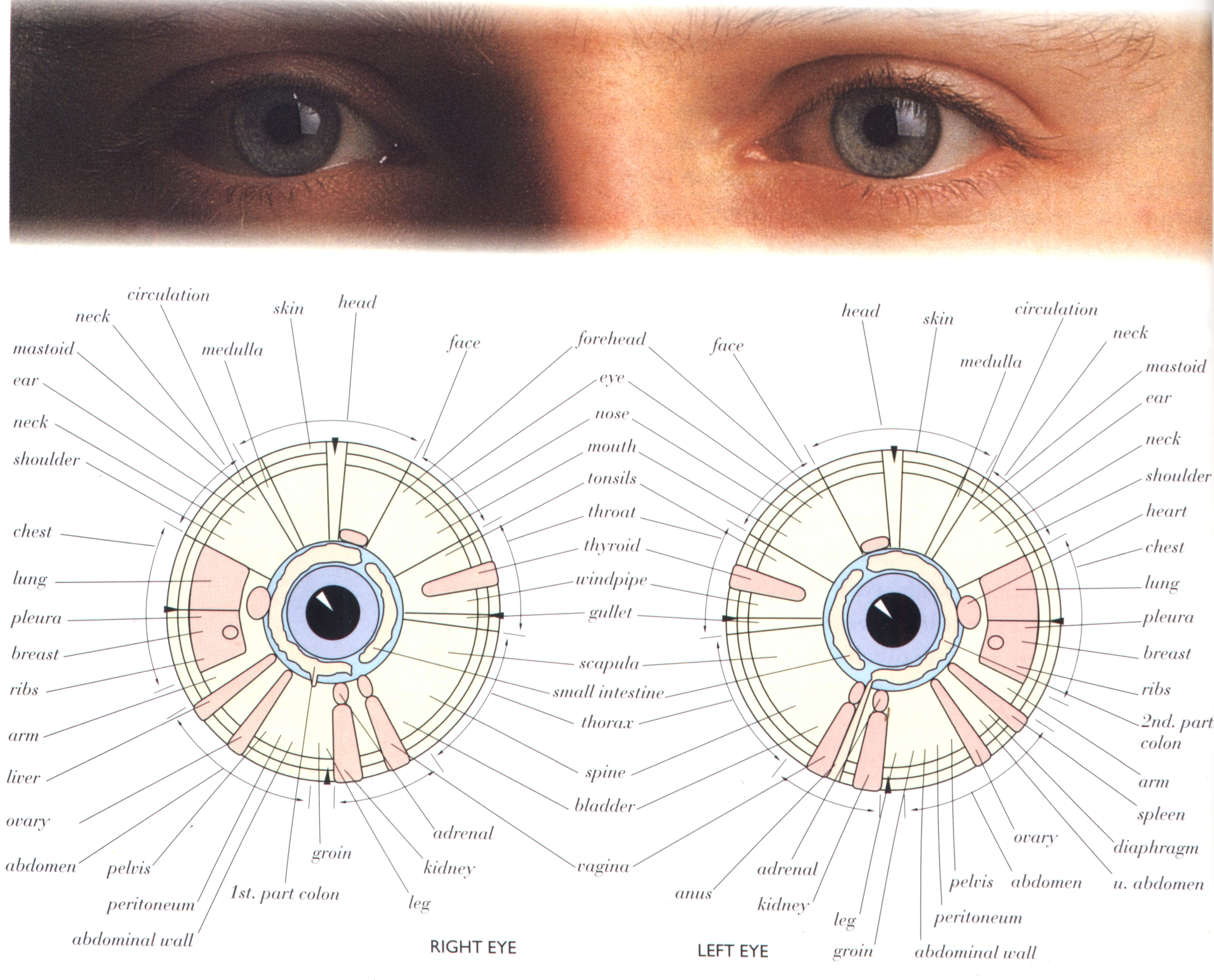 Hhcmi according to iridologists the iris of the eye represents hhcmi according to iridologists the iris of the eye represents a kind of map of human glands organs and systems of the whole human body geenschuldenfo Choice Image
